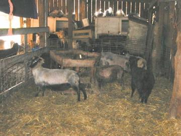 Sheared ewes