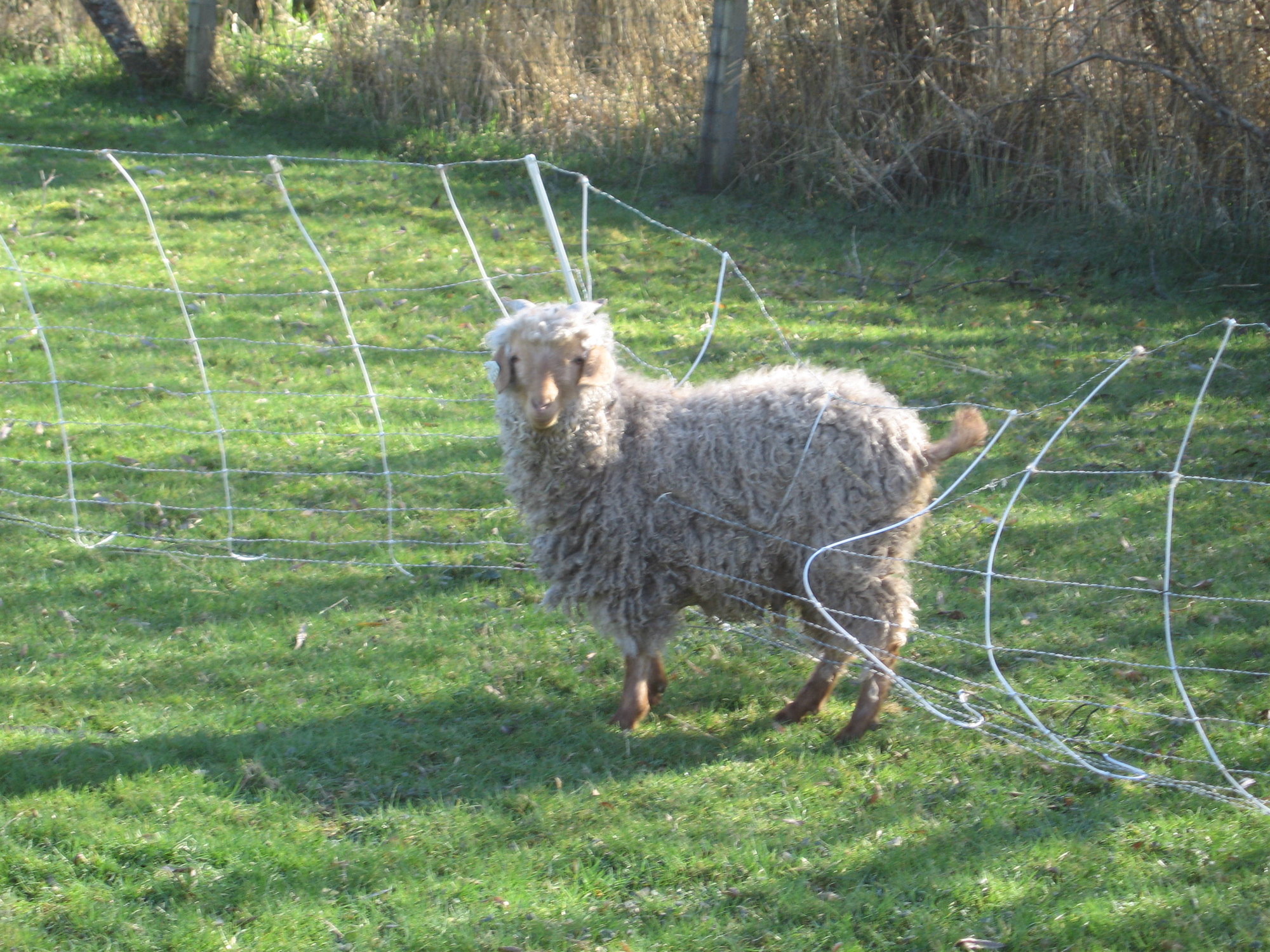 Fencing And Woolly Sheep Schoonover Farm Blog