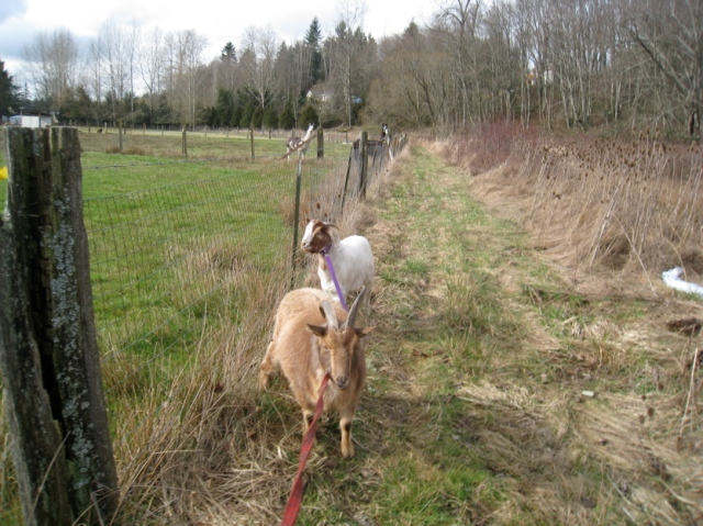 bambi and sparrow pack training with llamas watching
