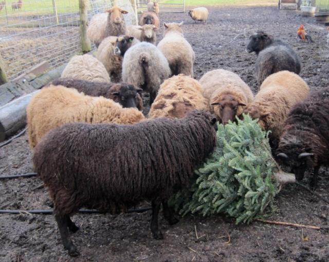 sheep eating Christmas tree