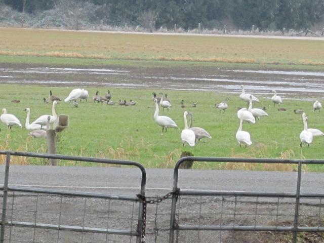 swans outside gate