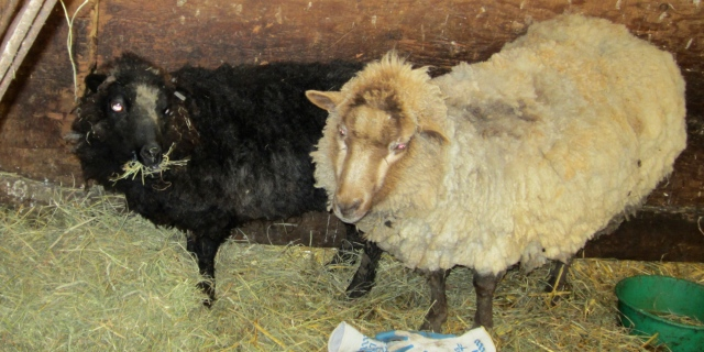 Madonna and Ewegenie and after shearing