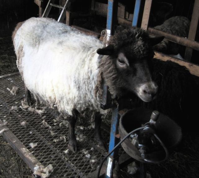 Sheared Monette