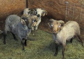 sheared rams