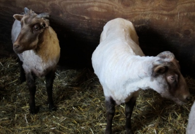 sheared wethers