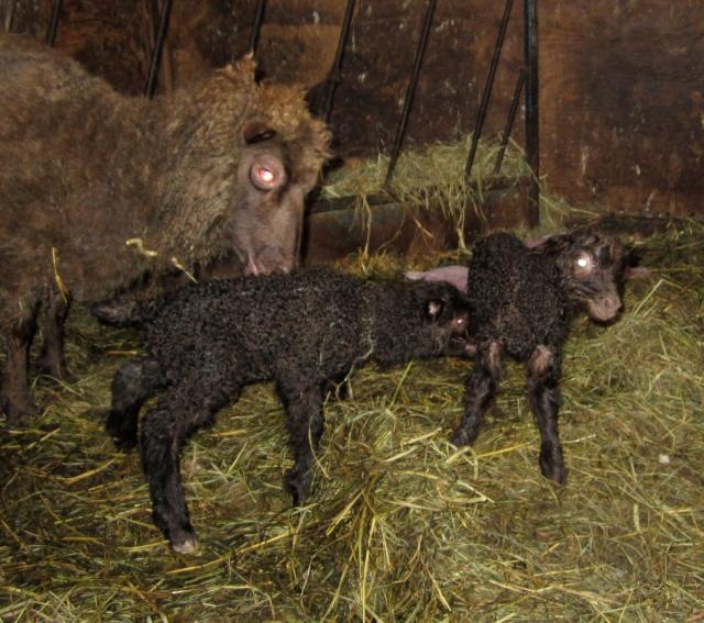 winks lambs