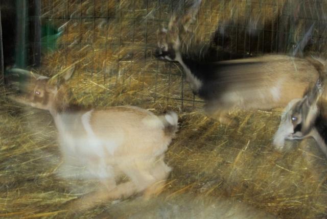 action goat shot