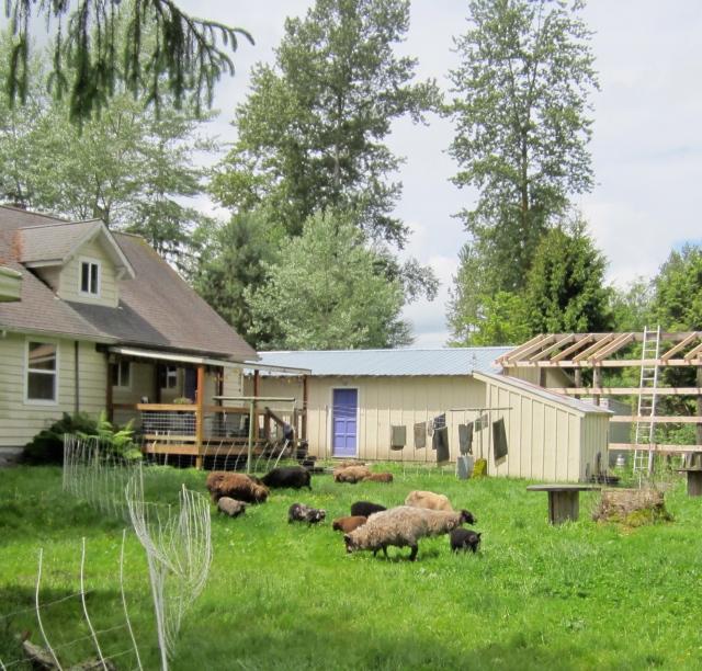 backyard sheep
