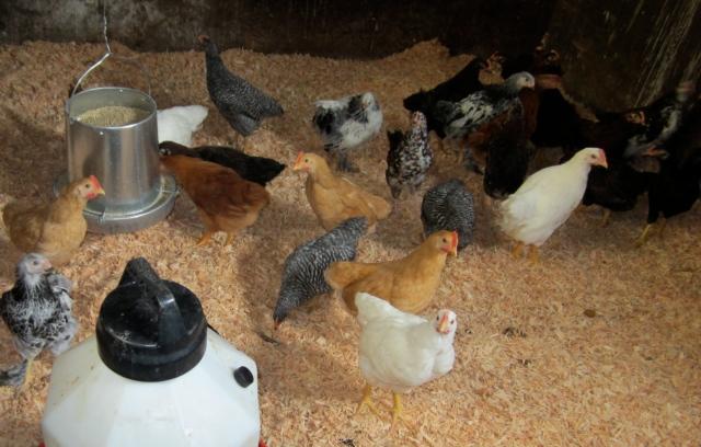 chicks in new pen