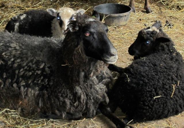 Tanya and lambs