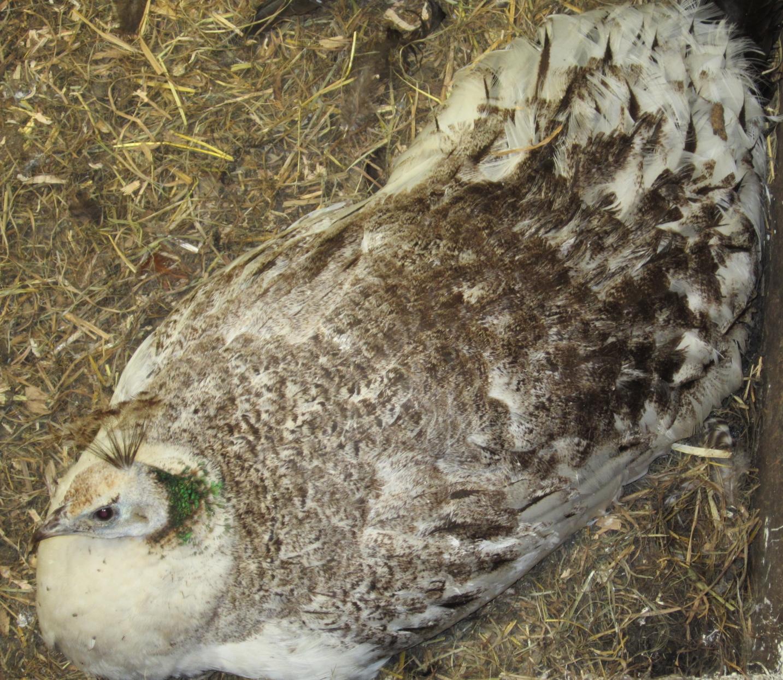 Peacock Attack | Schoonover Farm Blog