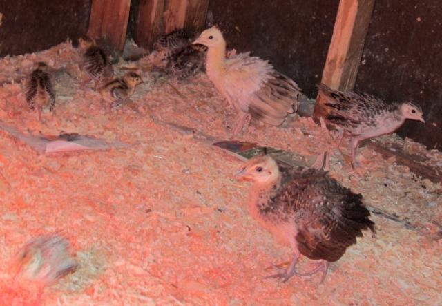 pea and pheasant chicks