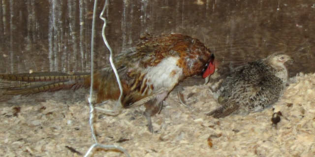 pheasant pair setting