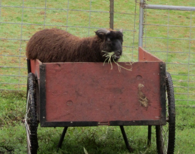 velvet stealing hay
