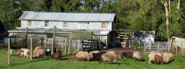 sheep and goats eating pomace