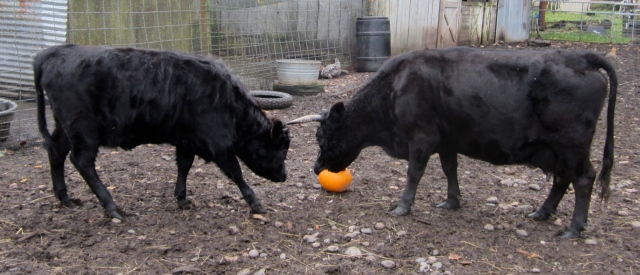 cows and pumpkin