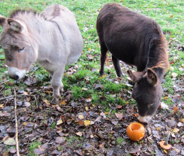 donkeys and pumpkin