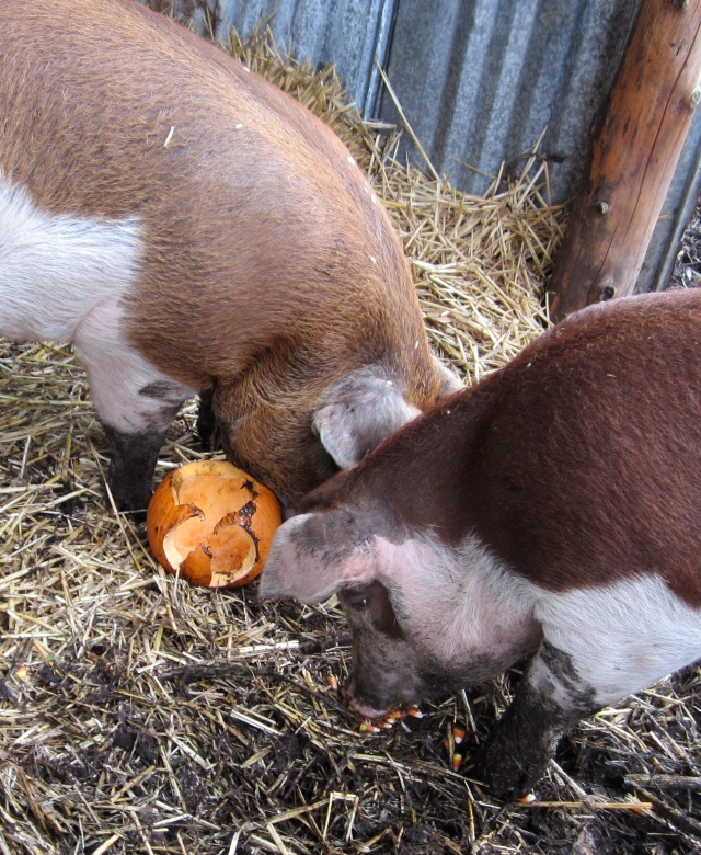 pigs and pumpkin
