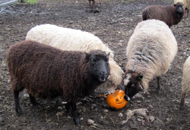 sheep and pumpkin