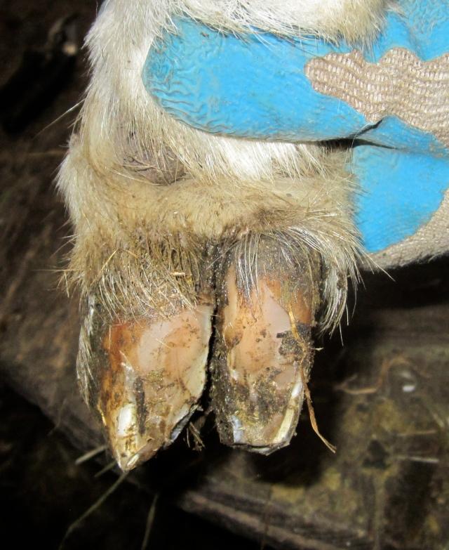 goat hoof