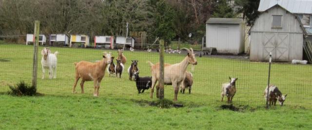 goats watching
