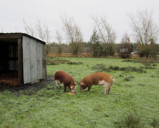 pigs in new pasture