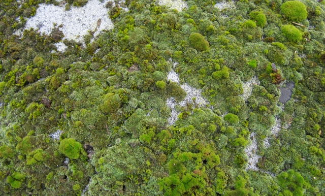 irish green moss