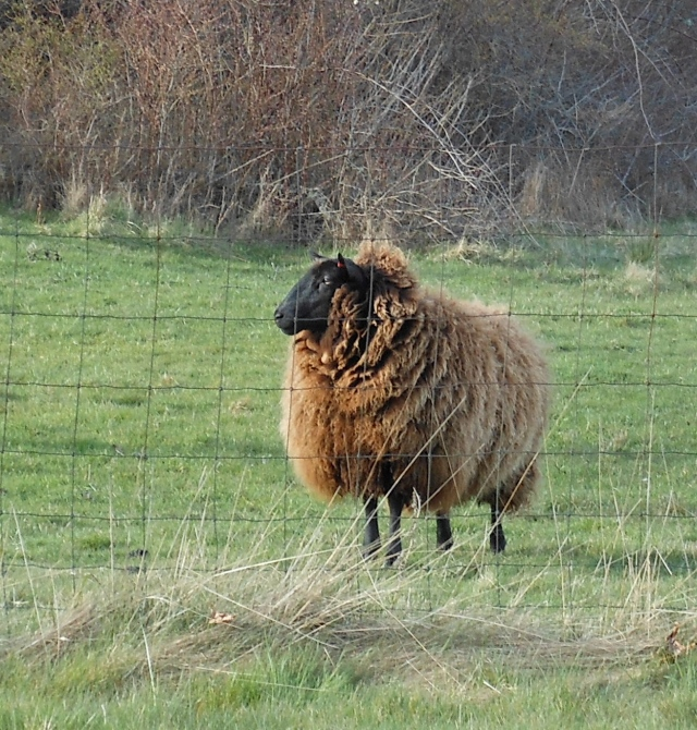 Lopez sheep2