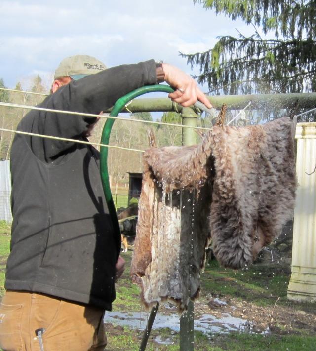 Tom rinsing sheepskin