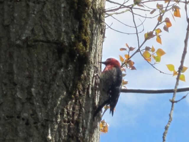 cool woodpecker