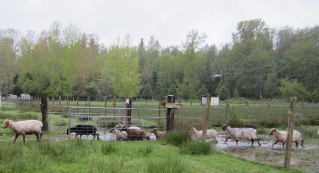 wet sheep