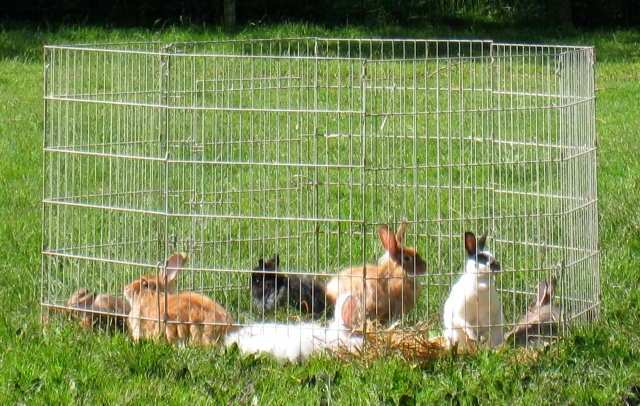rabbitsinoutdoorpen