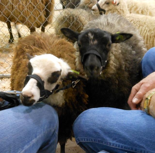 cute ewe lambs