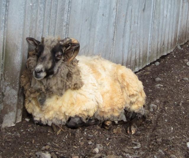 sheared bob