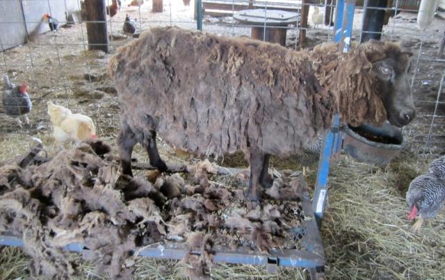 sheared sadie
