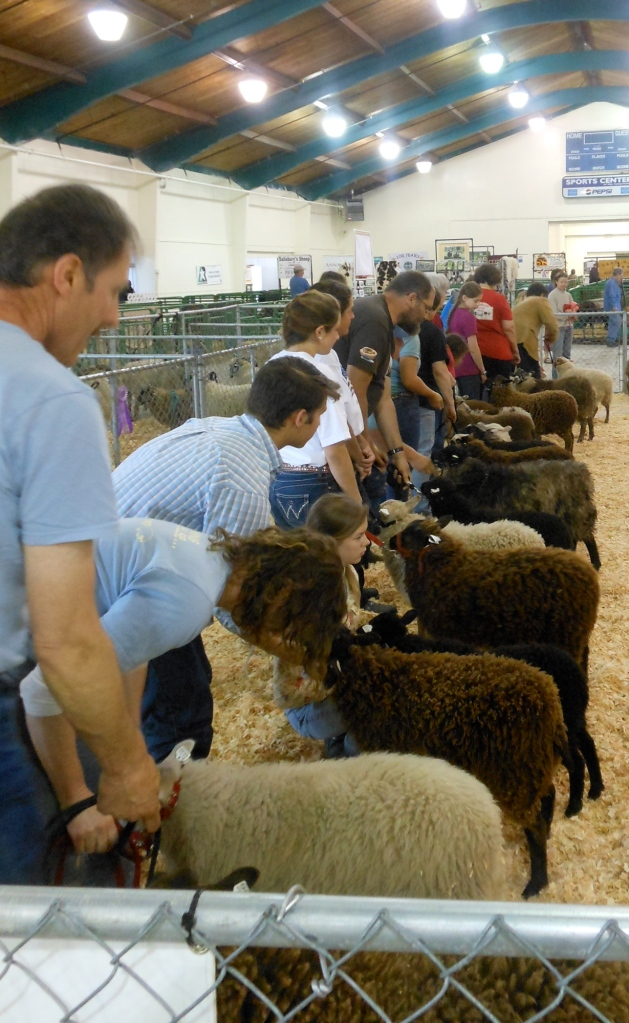 Shetland ewe lamb class