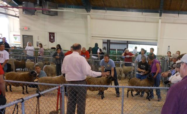 Shetland ram class