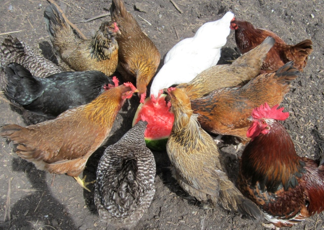 chickens and melon half