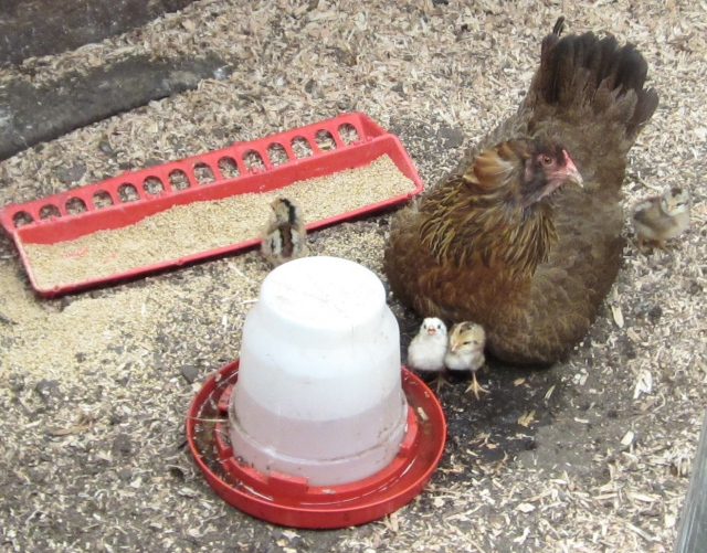 chicks in pen