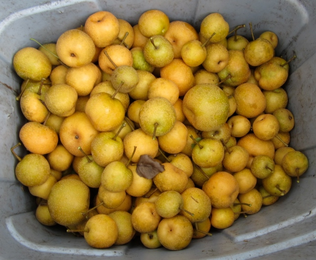 asian pears for pigs