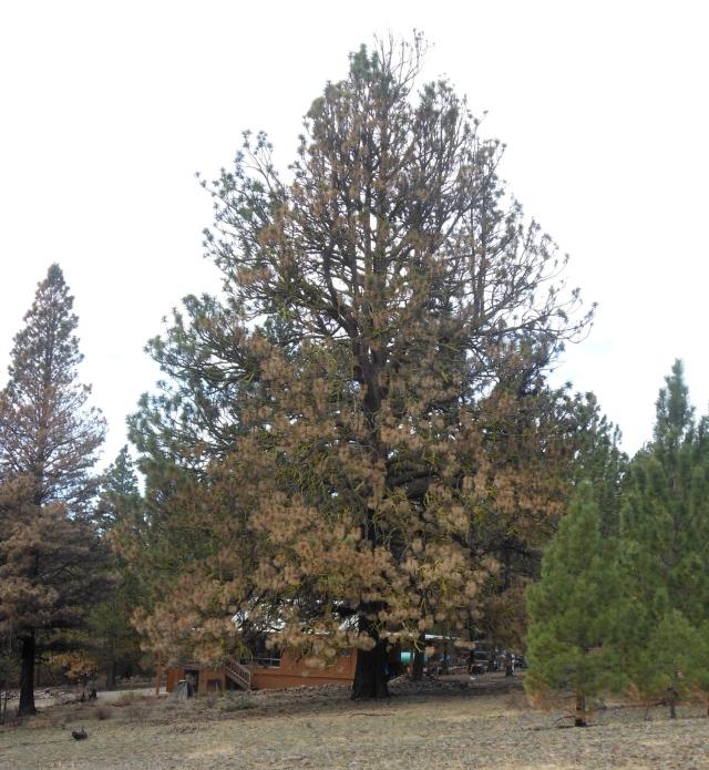 loki tree