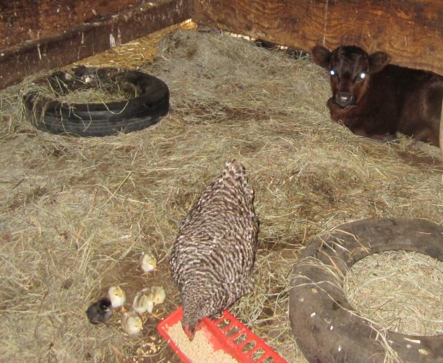 chicks and calf