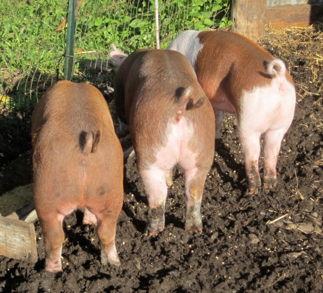 sunny pig butts