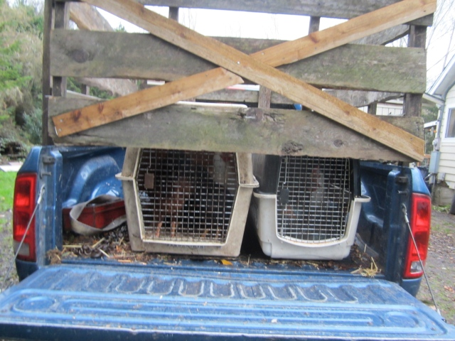 chickens in crates