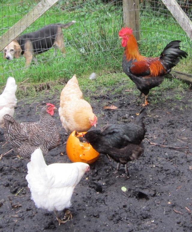 chickens pumpkin