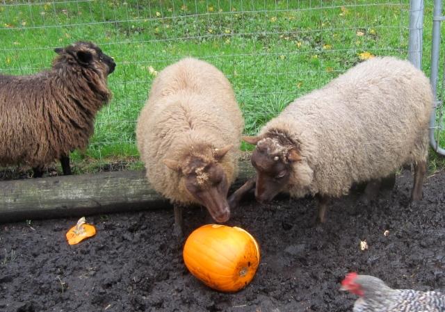 sheep pumpkin