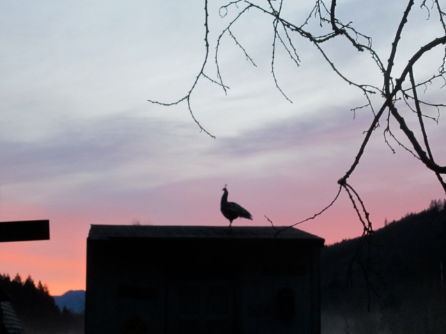 peacock sunrise