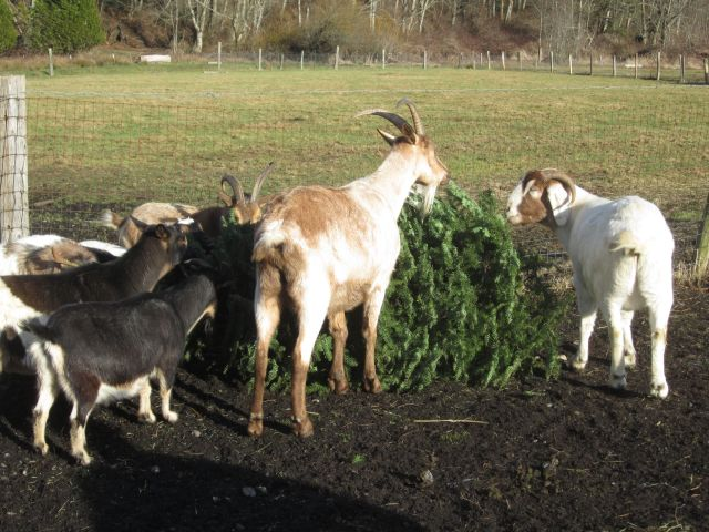 Christmas tree and goats