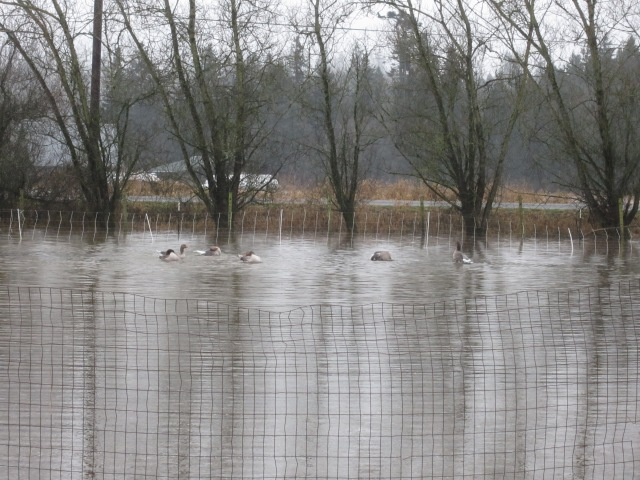 geese in flood waters