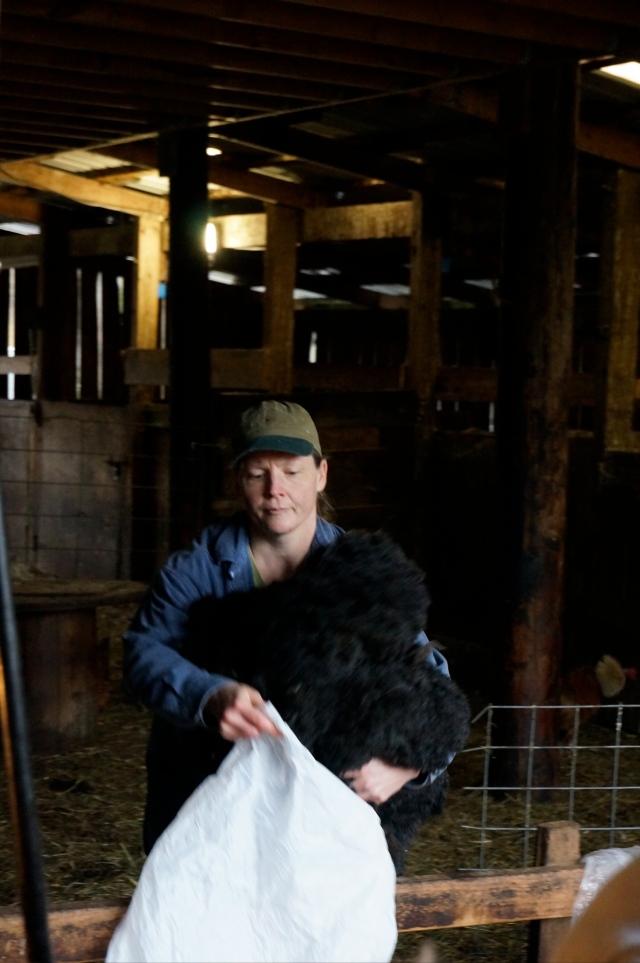 Denise bagging wool